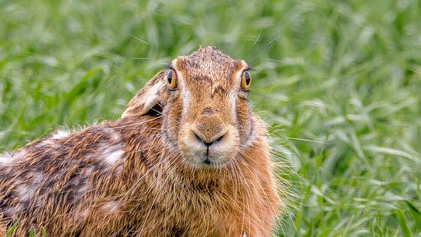 Hare Field, Hare, Mammal, Animal, Rabbit, Ear, Hairy
