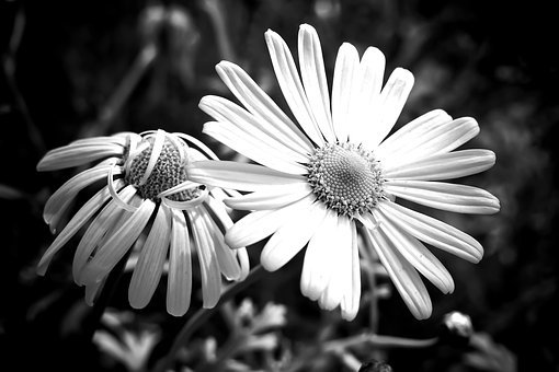 Meadows Margerite, Marguerite, Meadow Margerite