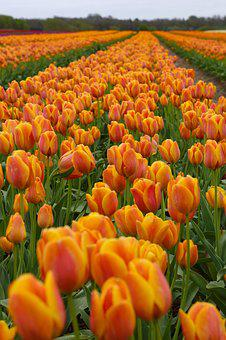 Tulips, Tulipanmark, Flower, Mark, Gram