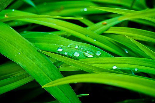 Reed, Bank, Nature, Plant, Grass, Marsh Plant, Macro