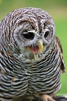 Chaco Owl, Owl, Bird, Chaco, Beak, Hunter, Falconry