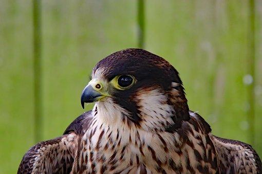 Peregrine Falcon, Falcon, Fast Bird, Bird, Peregrine