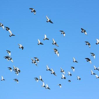Flying Birds, A Flock Of Pigeons, Pigeons, Pigeon