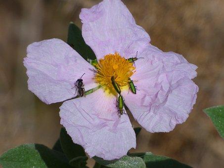 Steppe, Wild Flower, Psilothrix Cyaneus, Coleoptera
