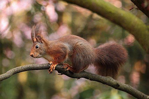 Squirrel, Rodent, Sciuris Major Vulgaris, Foraging