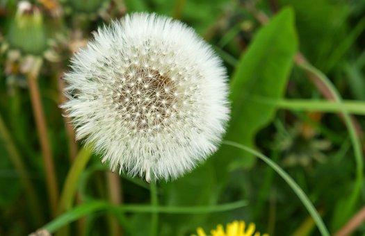 Dandelion, Seeds, Frøstand, Flower Seeds