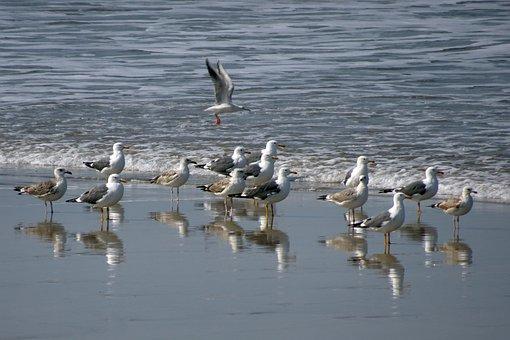 Bird, Gull, Heuglin's Gull, Siberian Gull