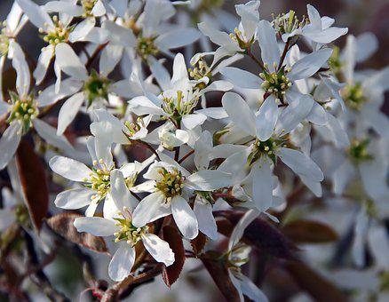 Amelanchier, White Flowers, Spring