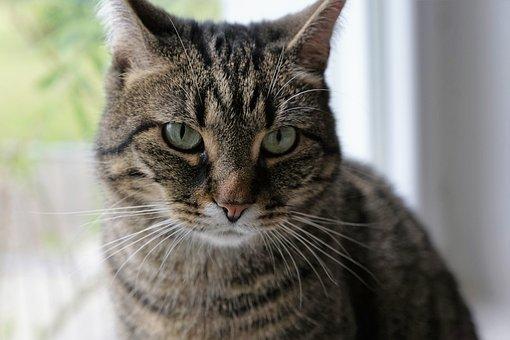 Cat, Animal, Pet, Cat's Eyes, Young Animal, Tigerle
