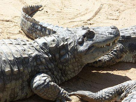 Alligator, Reptile, Dangerous, Sleeping Alligator