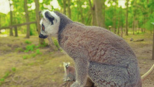Maki, Monkey, Lemurs, Zoo, Animal, Long Tail, Mammal