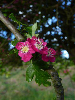 Hawthorn, Blossom, Bloom, Tree, Blossom, Nature, Red