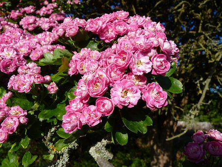 Hawthorn, Blossom, Bloom, Pink, Red, Pink Flower, Plant