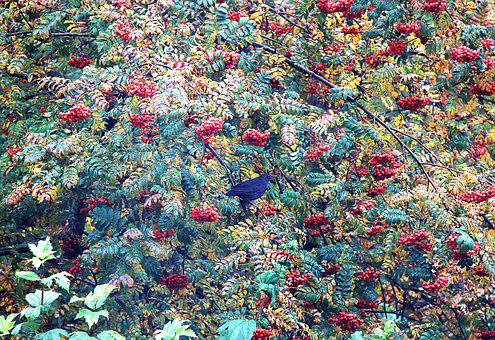 Rowan, Nature, Branch, Plant, Red, Tree, Season, Bunch