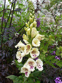 Thimble, Yellow, White, Spotted, Digitalis Lutea