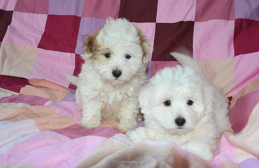 Puppies, Dog, Animal, White, Domestic Animal