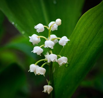 Lily Of The Valley, Flower, Spring