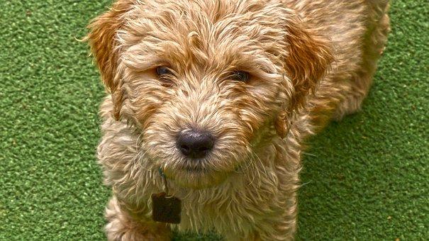 Dog, Puppy, Golden Doodle, Pet, Curly, Fur