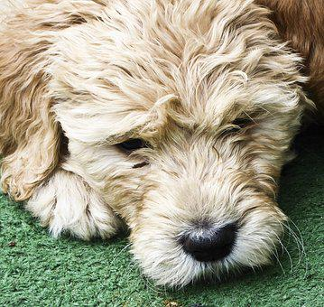 Dog, Puppy, Golden Doodle, Pet, Fur, Face, Lying Down