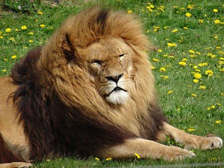 Lion, Yorkshire Wildlife Park, Lazing I'm The Sun