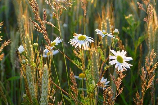 Daisy, Leucanthemum Vulgare, Oxeye Daisy, Leucanthemum
