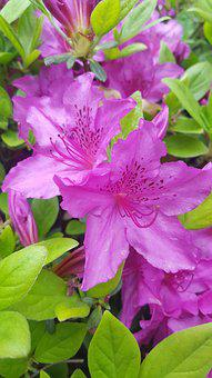 Azalea, Flowers, Spring Flowers, Spring, Nature