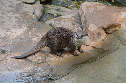 Animal, Mammal, Eating, Nature, Wildlife, Fauna, Otter