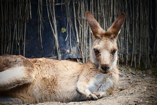 Kangaroo, Australia, Nature, Outdoor, Tourism, Animal