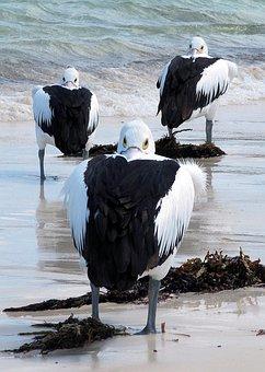 Pelicans, Sea Birds, Australia, Rottnest Island