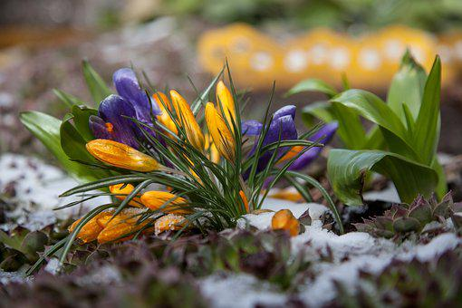 Flowers, Crocuses, Spring, Snow, The First Flowers