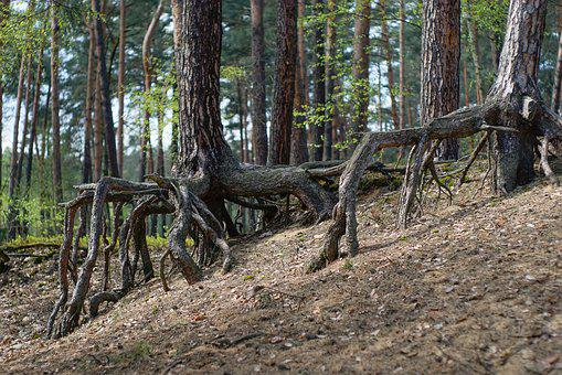 Forest, The Roots Of Trees, Tree, Tree Trunks, Nature