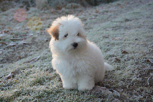 Puppy, Cotton Tulear, Dog, Animal, White Fur, Small Dog