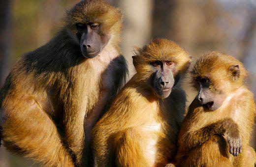 Animals, Ape, Berber Monkeys, Family, Together, Group