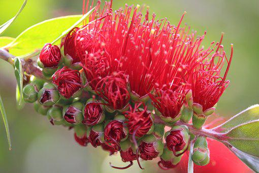 Callistemon, Bottlebrush, Australian Native Plant