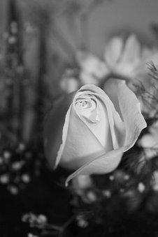 Rose, Baby's Breath, White Rose, Love, Nature, Flower