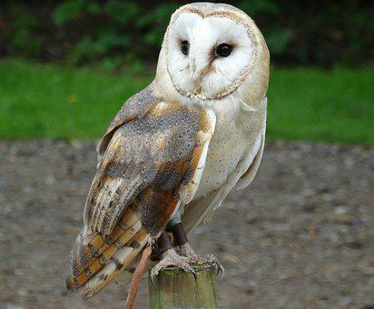 Barn Owl, York Wildlife Park, Bird Of Prey, Outdoor