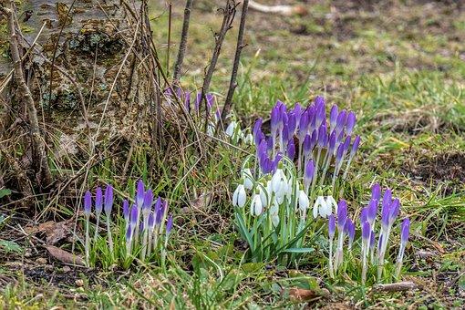 Crocus, Snowdrop, Spring Flower, Nature