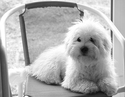 Cotton Tulear, Dog, Young, Cute, White, Domestic Animal