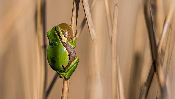 Tree-frog, Frog, Green, Amphibian, Nature, Animal