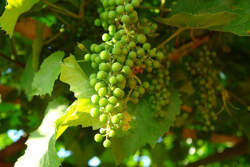 Grapes, Green Grapes, Bunch Of Grapes, Unripe