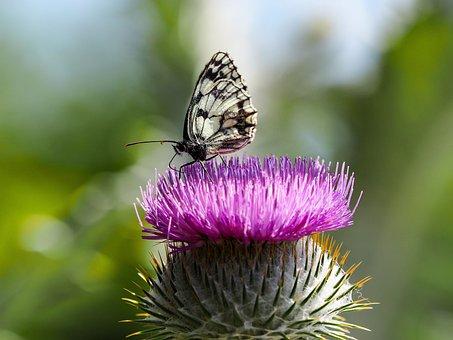 Butterfly, Nature, Half-mourning, Melanargia Galathea