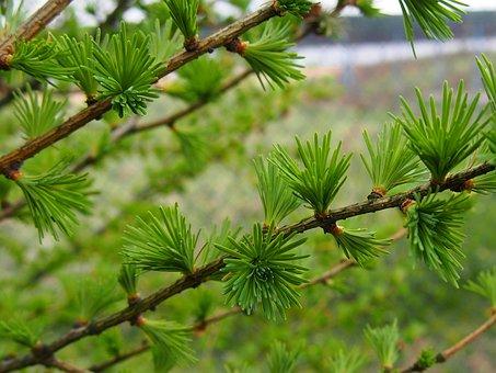 Nature, Larch, Sprig, Closeup, Larch Needles, Iglak