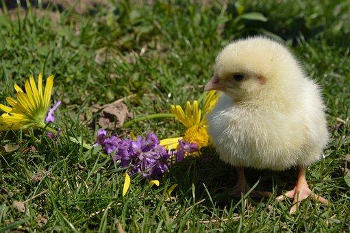 Chicken, Flowers, Bird, Nature, Chick, Little