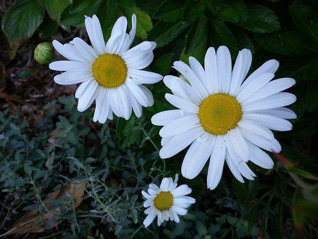 Daisy, Daisies, Flower, Spring, Nature, Bloom, White