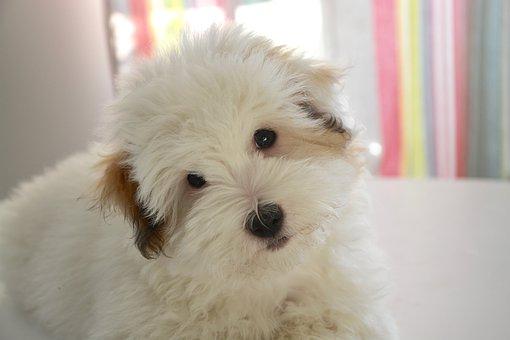 Puppy, Dog, Cotton Tulear, Animal Domestic
