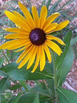 Black-eyed Susan, Rudbeckia, Yellow, Flower, Floral