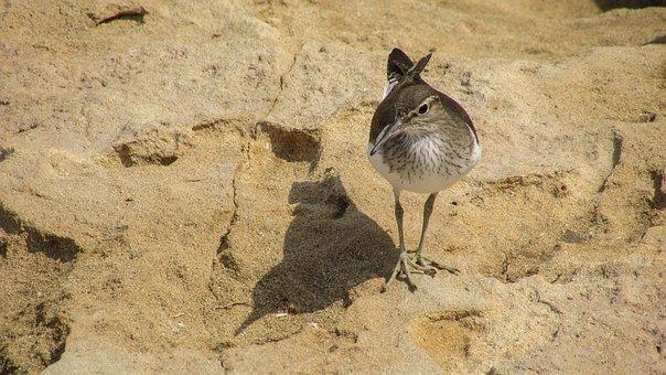Stint, Seabird, Migratory, Nature, Wild, Fauna