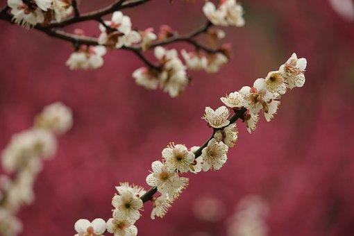 Spring, Plum Blossom, Jiang Mei