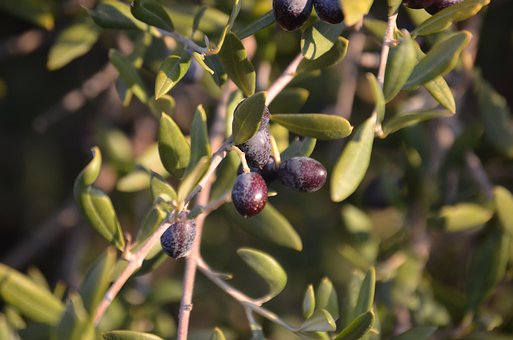 Wild Olive, Olives, Crazy Olives