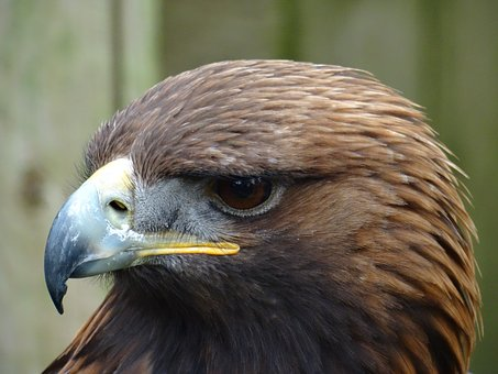 Bird Of Prey, Golden Eagle, York Bird Of Prey Centre